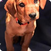 Adopt A Pet :: Penelope - tucson, AZ