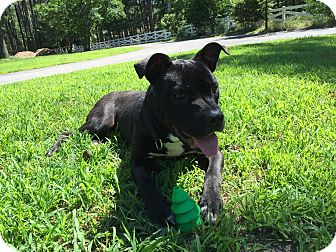 Cane Corso/Mastiff Mix Puppy for adoption in Colonial Heights, Virginia - Snoopy