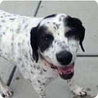 Adopt A Pet :: Dot - Worcester, MA