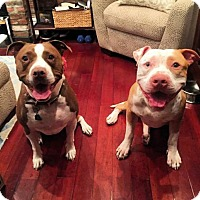 Adopt A Pet :: Roman - Brooklyn, NY