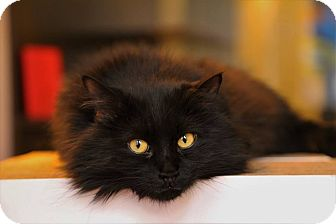 Domestic Longhair Cat for adoption in New York, New York - Miku