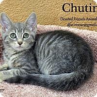 Adopt A Pet :: Chutine - Ortonville, MI