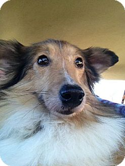 Sheltie, Shetland Sheepdog Dog for adoption in Spring City, Tennessee - Ava: LOVES CHEESE TREATS!