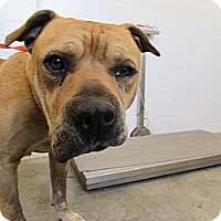 Adopt A Pet :: Diesel  . . . Save him today! - Corona, CA