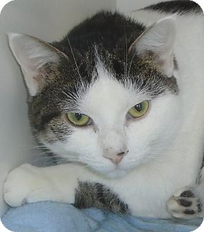 Domestic Shorthair Cat for adoption in Georgetown, Texas - Dash