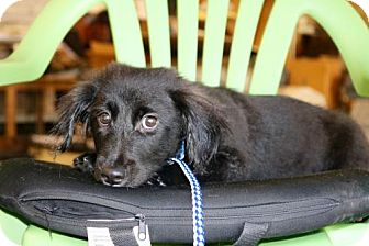 Border Collie/Dachshund Mix Puppy for adoption in Willows, California - SPENCER