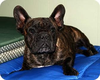 French Bulldog Dog for adoption in New City, New York - Cha Cha
