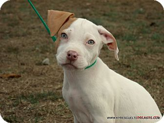 Labrador Retriever/Pit Bull Terrier Mix Puppy for adoption in parissipany, New Jersey - FROTOE/PENDING