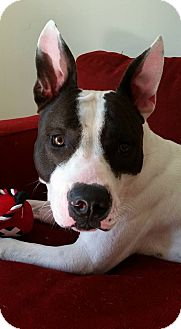American Bulldog Mix Dog for adoption in Ft. Lauderdale, Florida - Disco