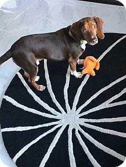 Beagle Mix Dog for adoption in Mooresville, North Carolina - Reese