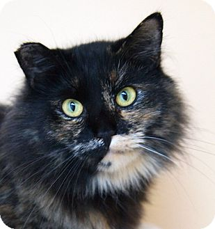 Domestic Longhair Cat for adoption in Medford, Massachusetts - Ariel
