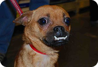 Chihuahua Mix Dog for adoption in Loudonville, New York - Boo