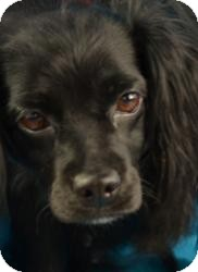 Spaniel (Unknown Type) Mix Dog for adoption in Minneapolis, Minnesota - Sara