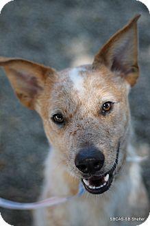 Australian Cattle Dog Puppy for adoption in Goleta, California - Simba