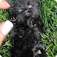 Adopt A Pet :: Chewabacca - Barnegat, NJ