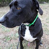 Labrador Retriever Mix Dog for adoption in Oakland, Arkansas - Mitch