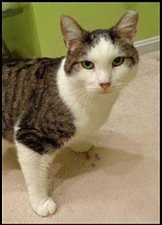 Domestic Shorthair Cat for adoption in Merrifield, Virginia - Chagall