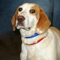 Hound (Unknown Type) Mix Dog for adoption in Stafford, Virginia - Marley
