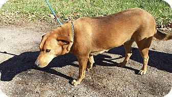 Labrador Retriever Mix Dog for adoption in Houston, Texas - Alexis