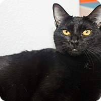 Domestic Shorthair Cat for adoption in Los Angeles, California - Ember
