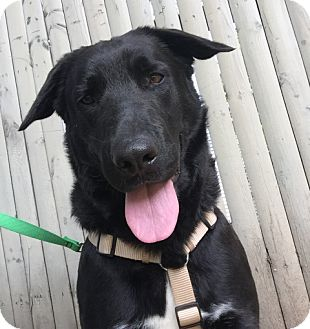 Labrador Retriever/German Shepherd Dog Mix Dog for adoption in Swanzey, New Hampshire - Max