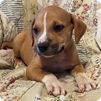 Adopt A Pet :: Bronson - Modesto, CA