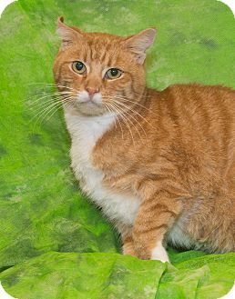Domestic Shorthair Cat for adoption in Elmwood Park, New Jersey - Mango