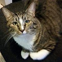Domestic Shorthair Cat for adoption in San Bernardino, California - Angel Baby