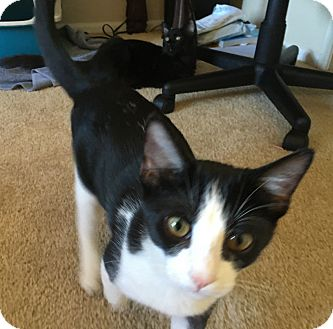 Domestic Shorthair Cat for adoption in Orange, California - Rocky