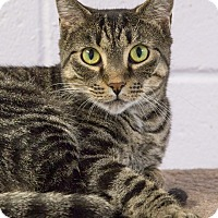 Domestic Shorthair Cat for adoption in Elmwood Park, New Jersey - Bonnie