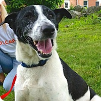 Canaan Dog/Border Collie Mix Dog for adoption in Sparta, New Jersey - Scooby