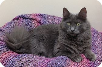 Domestic Mediumhair Cat for adoption in Willmar, Minnesota - Diesel
