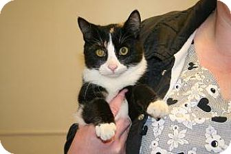 Domestic Shorthair Cat for adoption in Wildomar, California - Lucy