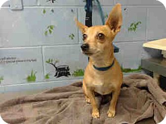 Chihuahua Mix Dog for adoption in San Bernardino, California - URGENT ON 10/12 San Bernardino