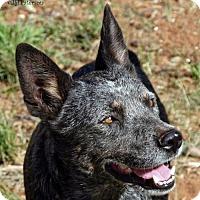 Adopt A Pet :: Ike - Scottsdale, AZ