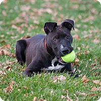 Pit Bull Terrier Mix Puppy for adoption in Washoe Valley, Nevada - Mickey