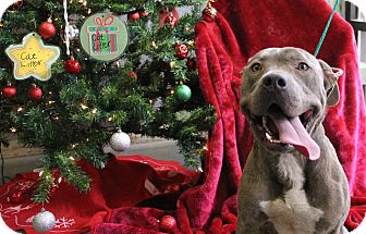 Pit Bull Terrier Mix Dog for adoption in Greensboro, North Carolina - Buggs