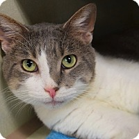 Domestic Shorthair Cat for adoption in Hillside, Illinois - Tango-AWESOME & AFFECTIONATE