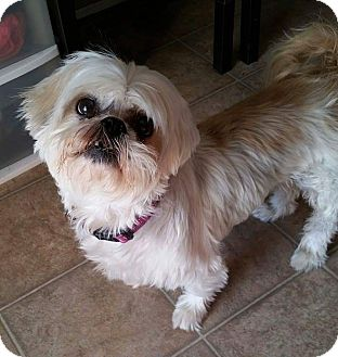 shih tzu rescue ohio urbana oh shih tzu mix meet shadow turner a dog for 1282