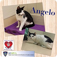 Adopt A Pet :: Angelo - Westbury, NY