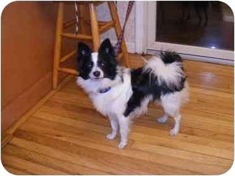 Rascal adopted dog nov2909 center moriches ny for Papillon new york