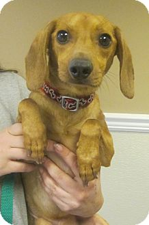Dachshund/Italian Greyhound Mix Dog for adoption in Oak Ridge, New Jersey - Niles