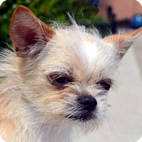 Adopt A Pet :: LaTigo - Bridgeton, MO