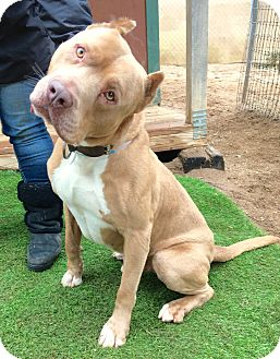 Dogue de Bordeaux/Pit Bull Terrier Mix Dog for adoption in Burbank, California - Handsome Prince William