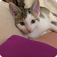 Adopt A Pet :: Tolstoy the Cuddler! - Cincinnati, OH