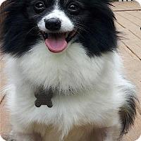 Pomeranian Dog for adoption in Alpharetta, Georgia - Pompeii