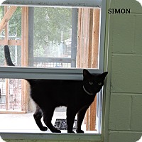 Domestic Shorthair Cat for adoption in Washington, Georgia - Simon