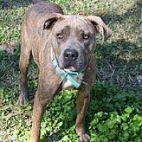 American Bulldog/Pit Bull Terrier Mix Dog for adoption in Hankamer, Texas - Blossom