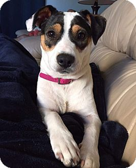 Jack Russell Terrier Mix Dog for adoption in Wyoming, Michigan - Mackie - on a 30 day trial