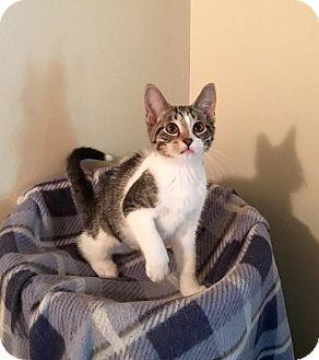 Domestic Shorthair Kitten for adoption in Davison, Michigan - Lotus